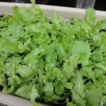 サラダレタス初収穫