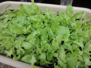 サラダレタス初収穫1