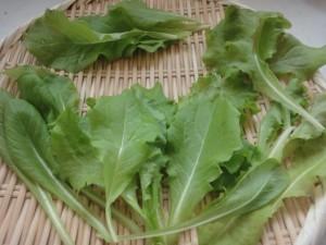 サラダレタス初収穫2